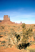 DESERT FLORA<br /> Dying Tree &amp; Scrub In front of Left Mitten Butte<br /> Monument Valley, AZ