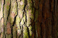 Trunk and bark of a fir tree in woodland, Oxfordshire, England