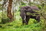 African elephant, Ngorongoro Conservation Area, Tanzania