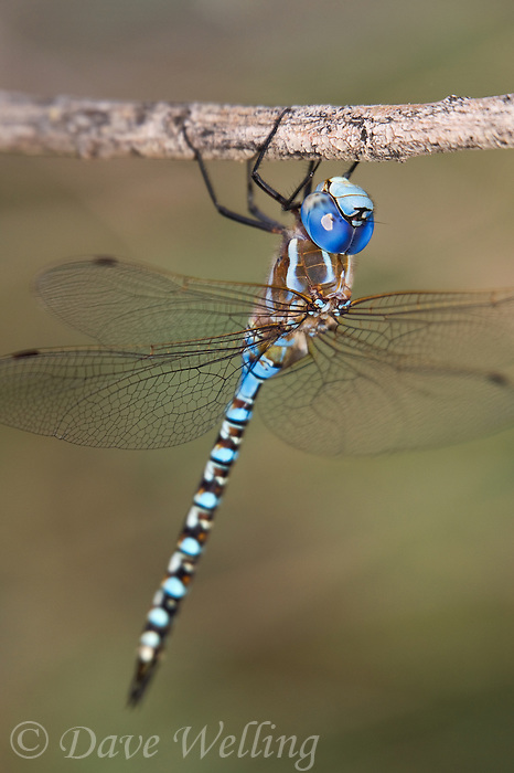 339360030 wild male blue-eyed darner dragonlfy rhionaeschna multicolor perches on a small tree limb in the shade at five mile landing in topock marsh havasu national wildlife refuge arizona united states