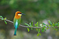Chestnut-headed Bee-eater (Merops leschenaulti)Yala National Park,Sri Lanka.
