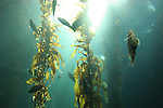 Kelp forest at Monterey Bay Aquarium