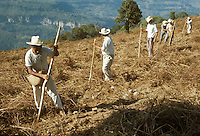 Mexico, Puebla State, Sierra de Puebla: men sowing maize using digging sticks.