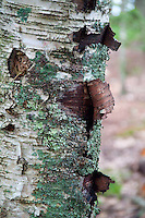 Bark Detail, Upper Negro Island, Maine, US