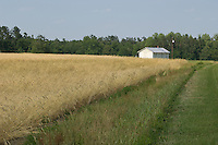 White farm building in a wheat field