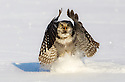 Hunting Northern Hawk owl in Norway