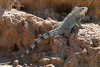 Green Iguana (Iguana iguana), Pantanal, Brazil