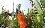 Foto: VidiPhoto<br /> <br /> HEUMEN - Medewerkers van kweker Theo Theunissen uit Heumen zijn woensdag gestart met de oogst van gladiolen voor de Nijmeegse Vierdaagse. Het grootste wandelevenement ter wereld begint aanstaande dinsdag met zo&rsquo;n 48.000 deelnemers. In totaal levert Theunissen 300.000 gladiolen in zes verschillende kleuren. Die worden traditioneel op de slotdag uitgereikt op Via Gladiola. De gladiool staat symbool voor overwinning, bewondering, trots en kracht. Het zomerbolgewas is daarmee onlosmakelijk verbonden met de Nijmeegse Vierdaagse. Door de overvloedige regenval van de afgelopen maanden was het nog maar de vraag of er wel voldoende gladiolen beschikbaar zouden zijn. Dat valt, evenals de prijs, alles mee. In Nederland zijn 70 gladiolenkwekers actief op een totaal beplante oppervlakte van ruim 750 hectare. Zo&rsquo;n 90 procent van de gladiolen die in Nederland geteeld wordt, is bestemd voor het buitenland. Er zijn 260 verschillende soorten in alle kleuren en maten. In het kader van het 100-jarig jubileum van de Nijmeegse Vierdaagse heeft Theunissen de organisatie een nieuwe oranjerode gladiool aangeboden: &lsquo;The Walk of the World&rsquo;. Het gladiolenseizoen duurt tot eind september.