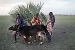 ATEKAL, TANZANIA - NOVEMBER 15: Maasai men try to rescue a dying cow on November 15, 2009 in their village in Atekal, Tanzania. The village has lost about 300 cattle in recent months. This area has been severely affected by drought the last two years and as many as 3-4000 cattle has died in recent months. The Maasai tribe populates the area and many of them has given up on farming and traveled to cities such as Arusha to look for work. Indigenous peoples globally, such as the Maasai in Tanzania and Kenya, are disproportionately affected by the impacts of climate change due to fragile and harsh ecosystems. (Photo by Per-Anders Pettersson)....