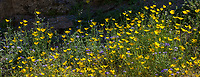 Eschscholzia parishii, Parish's Poppy yellow flowering wildflower; banner, California native plant Anza Borrego State Park; superbloom wildflower display 2017