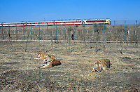 China. Province of Heilongjiang. Harbin. Siberia Tiger Park. Three tigers rest after eating beef received during the afternoon food distribution. A red chinese train with a diesel electric locomotive passes on the tracks nearby. © 2004 Didier Ruef