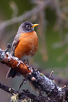The American Robin or North American Robin[2] (Turdus migratorius) is a migratory songbird of the thrush family. The American Robin is active mostly during the day, and on its winter grounds it assembles in large flocks at night to roost in trees in secluded swamps or dense vegetation. The flocks break up during the day when the birds feed on fruits and berries in smaller groups. Calcite Cliffs, Yellowstone.