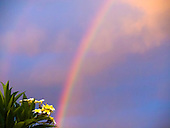 A cluster of plumeria backed by a double rainbow after a rain shower, Big Island.