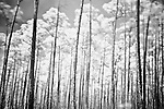 Infrared photograph of a forest of long pine trees, aptly named &quot;Long Pine Key.&quot;  Long Pine Key lies near the eastern edge of the Everglades National Park and is accessed through the Ernest F. Coe Visitor Center.