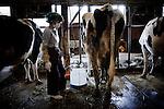 """Iitate, April 28 2011 - .(eng)  In Hasegawa's farm. .Hideyoshi Hasegawa and his wife Kayoko must leave their house because of high radiation levels. They plan to settle down20Km away  in an appartment at Fukushima city. If they are moved, the cows will not provide milk anymore. It was checked as safe by the authorities though. """"Anyway, noone buy milk fom the area anymore. Can we eat the meat? We don't know..."""" Outside the farm, the level of radioactivity reaches 10 micoSV/h, 100 times more than in Tokyo...(fr) Dans la ferme du couple Hasegawa. Hideyoshi Hasegawa et sa femme Kayoko doivent quitter leur ferme à cause du niveau de radation trop élevé à Iitate, pour s'installer 20km plus à l'ouest, dans un appartement dans la ville de Fukushima. Si elles sont déplacées, leur vaches ne donneront plus de lait. Il a pourtant été controlé dans les normes de sécurité japonaises. """"De toutes manières, personne n'achète plus le lait de la région. Donc autant les vendre. Mais la viande est-elle comestible? On ne sait pas."""" Le niveau monte jusqu'a 10 micoSV/h à l'extéreur de la ferme, 100 fois plus qu'à Tokyo."""