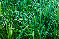 Tall and colorful green grass.