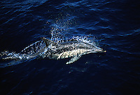 Common dolphin, Delphinus delphis, travel in huge fast moving groups that can exceed one thousand individuals.  Australia.
