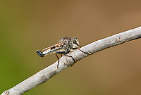 385562001 a wild robber fly nerax aestuans perches on a dead tree limb in lockhart city park lockhart texas