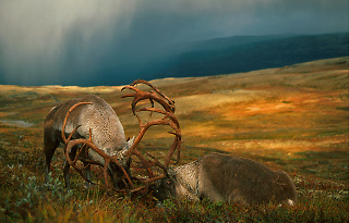 Wild reindeer fighting,Norway