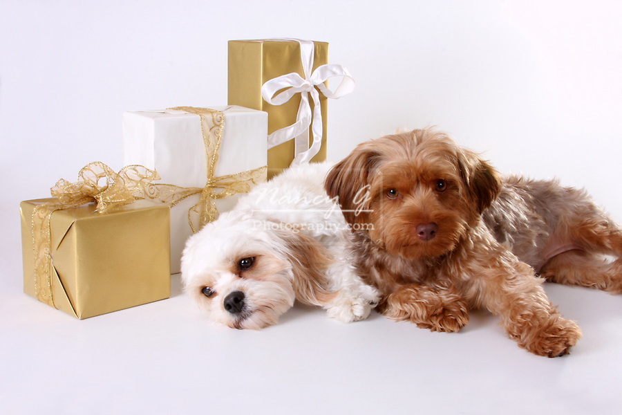 Cavalier King Charles Spaniel and Yorkiepoo dogs with Christmas gifts