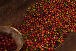 Ripe coffee beans at the Old Mill House Coffee Experience, Santa Catarina, Brazil