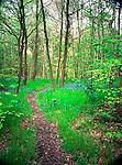 Path through a Spring woodland