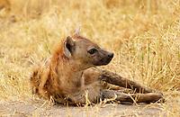 Spotted Hyena  in grassland, Grumeti, Tanzania