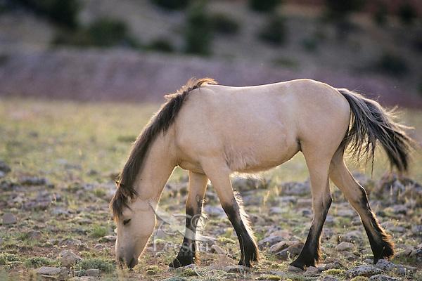Wild Horse, Western U.S., summer..(Equus caballus)