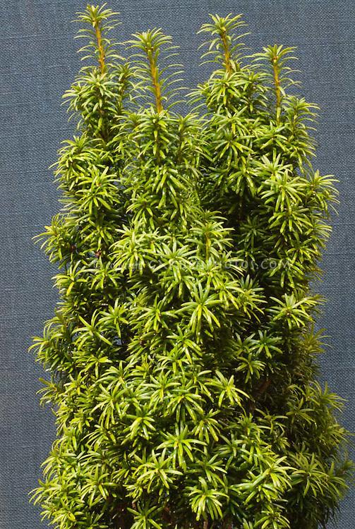 Standishii Yew Taxus baccata 'Standishii'