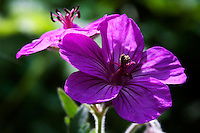 Sticky Geranium (Geranium viscosissimum) flowers and leaves are edible, but reported to be astringent and unappealing.  The root of this plant is astringent and was dried and powdered and used by Native Americans to stop external bleeding.