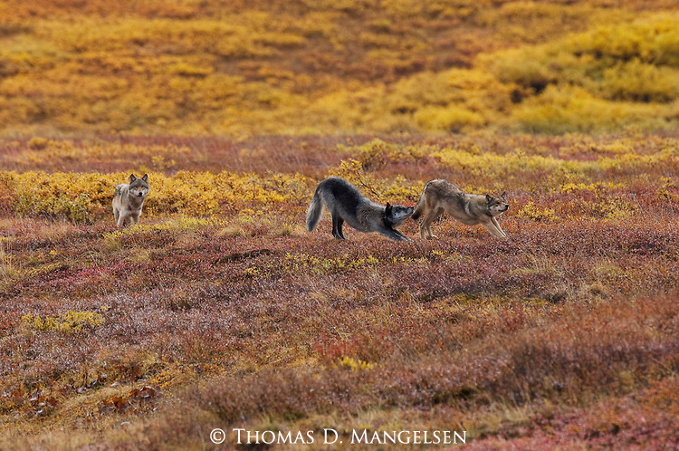 Two gray wolves stretch in Denali National Park, Alaska, while another surveys the tundra.