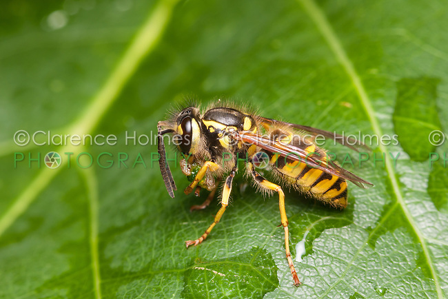 A female Downy Yellowjacket (Vespula flavopilosa) eats her caught prey while perching on a leaf.