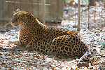 Leopard, Big Cat Rescue
