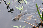 water rat bring foliage back to den for food or bedding in wetland area of Lake Washington near reeds and water lilies
