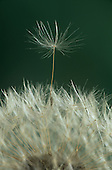 Common Dandelion Seeds (Taraxacum officinale) being dispersed by the wind from the flower seed head, USA.