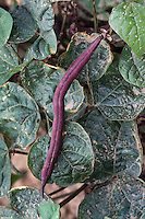Bush Bean 'Royalty Purple Pod' heirloom vegetable variety