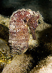 Diving Bonaire, Netherland Antilles -- A brown seahorse.  (Night dive at Kralendijk Pier).