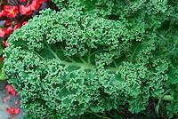 Kale vegetable Winterbor