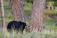 Black Bear, Yellowstone National Park