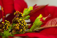 A single female poinsettia flower with stigma, style, and ovary can be seen emerging from its involucre (cluster of bracts fused together) on the right half of this image; the involucre also has a nectar gland emerging from it (that look like two yellow-green lips).  The entire inflorescence (involcure and female flower) is called a cyanthium.  On the left of the image a number of withered male flowers and their nectar glands can be seen emerging from shriveled involucres.  The red leaves surrounding the inflorescences (mostly out of focus) are bracts.