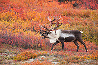 Large bull caribou with shedding velvet antlers walks through crimson colored dwarf birch tundra in Denali National Park.