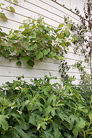 Growing fruit at home: Grape Vines and trellised pear tree against the house, with figs