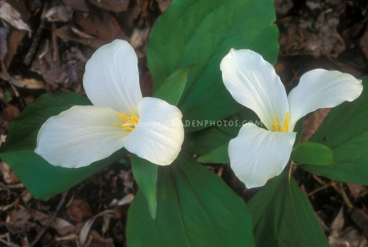 Trillium grandiflorum in white spring flowers