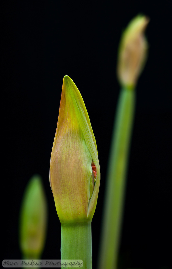 Three young developing amaryllis ([Hippeastrum] sp cultivar) inflorescences can be seen growing on their scapes, long leafless stems that support them.  Amaryllis inflorescences contain multiple flowers that develop inside spathes, bracts (modified leaves) that surround the young flowers.  The two spathes are just starting to split open on the closest flower, revealing a bit of red from one of the flowers.  The two flower stalks in the background are blurred out of focus.  This image was captured outside using natural light; no flowers were harmed in the production of this image.