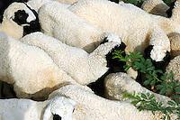 grazing sheep..Michael Benanav - mbenanav@gmail.com