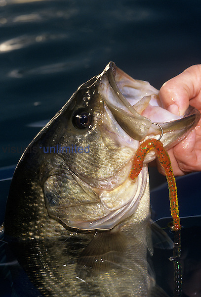 Largemouth Bass with plastic worm.
