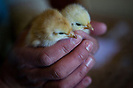 Newly delivered chicks at Soul Food Farm in Vacaville, CA May 7, 2010.