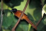 Red Bellied, Black Headed, Paradise Flycatcher, Terpsiphone rufiventer, female, on branch, West Africa. .Gambia....