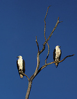 Two male and female  majestic Australian Seaeagles, in Kakadu National Park