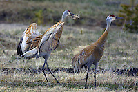 The Sandhill Crane (Grus canadensis) is a large crane of North America. The oldest unequivocal Sandhill Crane fossil is &quot;just&quot; 2.5 million years old. Anatomically modern humans originated in Africa about 200,000 years ago. 2.3 million years after the crane.<br /> Sandhills often nest in Yellowstone and it is pretty clear with this pair, what the proposal is meant to be.